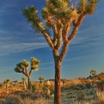 Joshua Tree in Yucca Valley