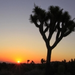 Joshua Tree in Yucca Valley (Mohave Desert), California